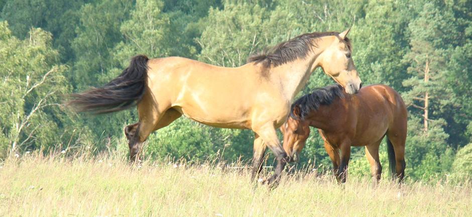 Bellen-Häst-och-Ponny-940
